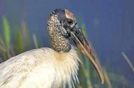Wood stork in the Everglades