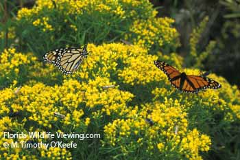 Monarchs on Goldenrod Butterfly Photo Picture  ©M. Timothy O'Keefe  www.FloridaWildlifeViewing.com